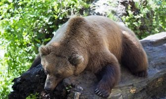 uyuyan ayı