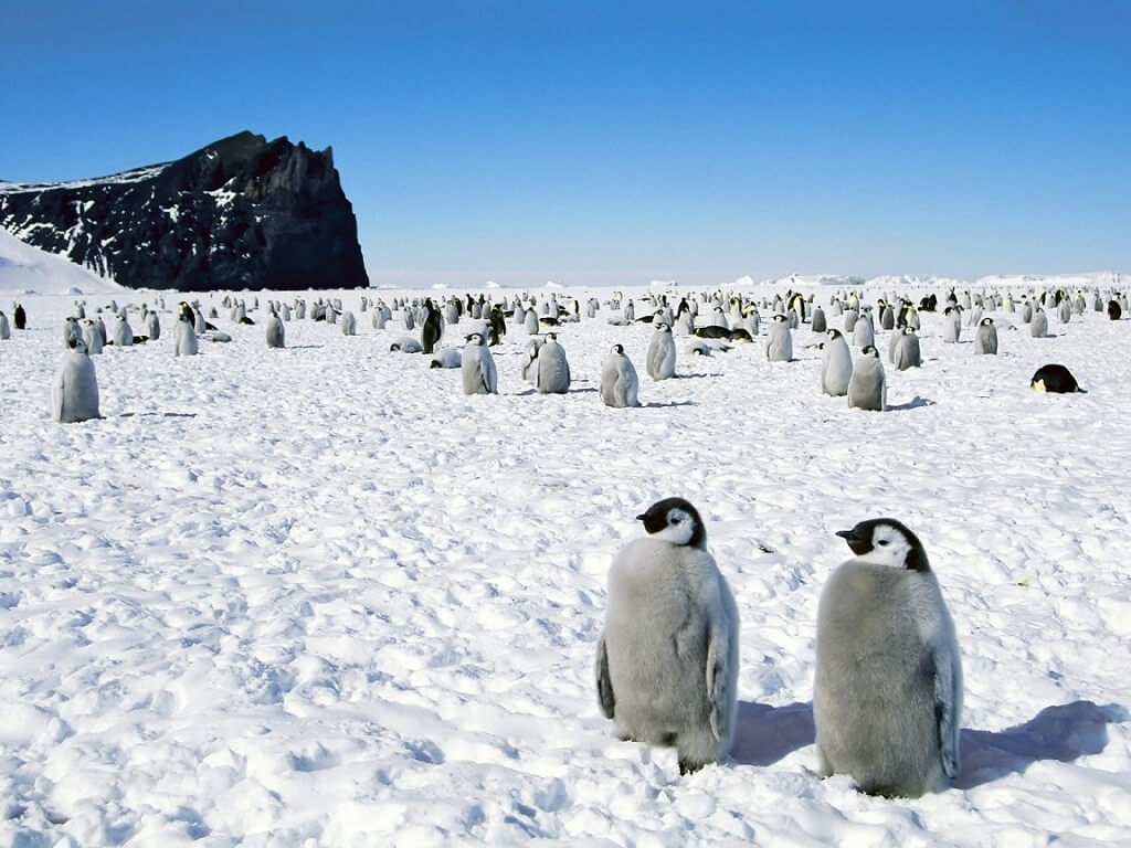 Penguen Yavruları