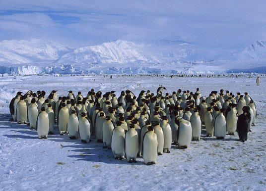 Penguenler Hakkında İlginç Bilgiler – Sevimli Penguen Resimleri