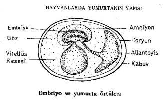 Hayvanlarda Yumurta Yapısı
