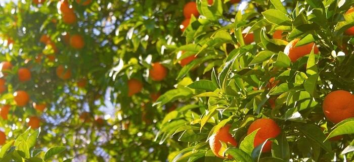 mandalina ağacı