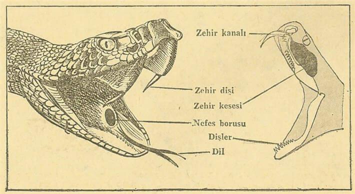 Yılanın Ağız Yapısı