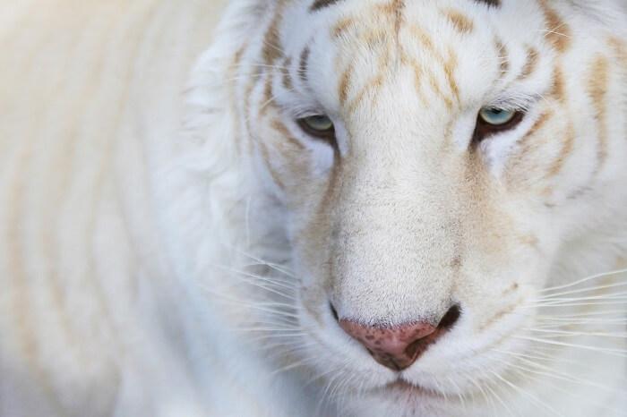 Beyaz Bengal Kaplanı