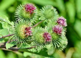 Dulavratotu Nasıl Bir Bitkidir? Özellikleri Yetiştirilmesi Kullanımı Bilgiler