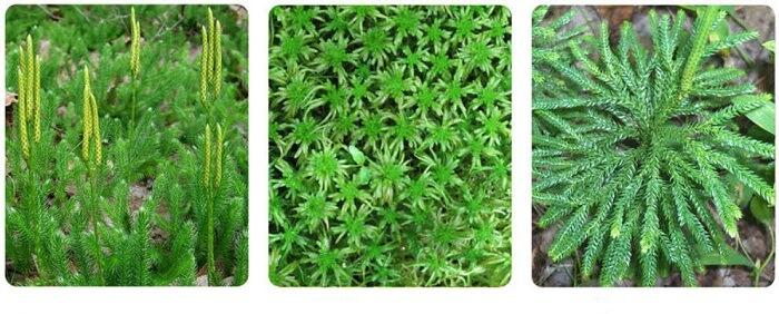 damarlı bitkiler