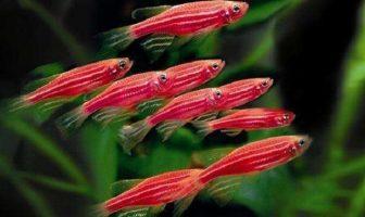 Pembe Tetra Balığı
