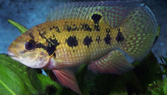 Pelmatochromis Annectens Balığı
