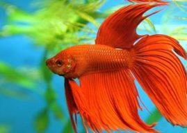 Beta Balığı Özellikleri ve Bakımı