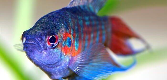 cennet balığı