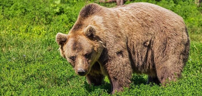 ayı hayvan