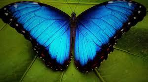 Mavi Morpho kelebek