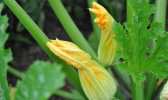 kabak bitkisi