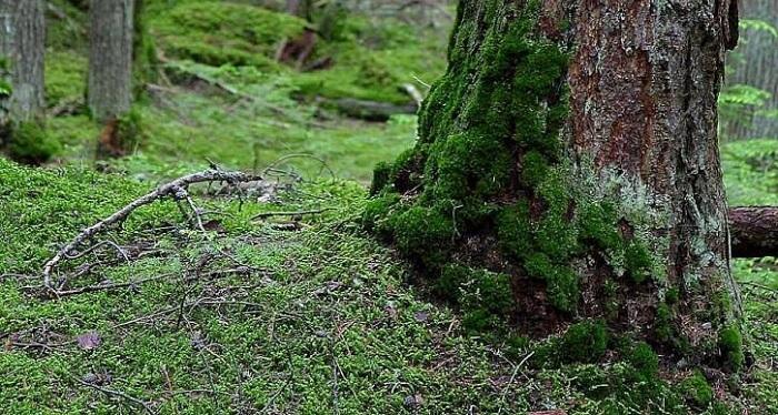 yosunlu ağaç