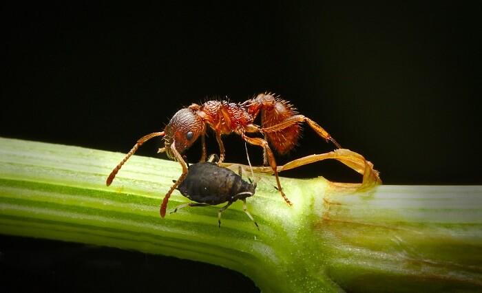 karınca yaprak biti