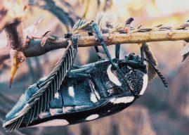 Böcekler : Nasıl Sınıflandırılır? Vücut Yapıları ve Bölümleri ve Özellikleri Nelerdir?