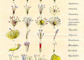 Carolus Linnaeus'un Sınıflandırmaya ve Botanik Bilimine Katkıları ve Çalışmaları