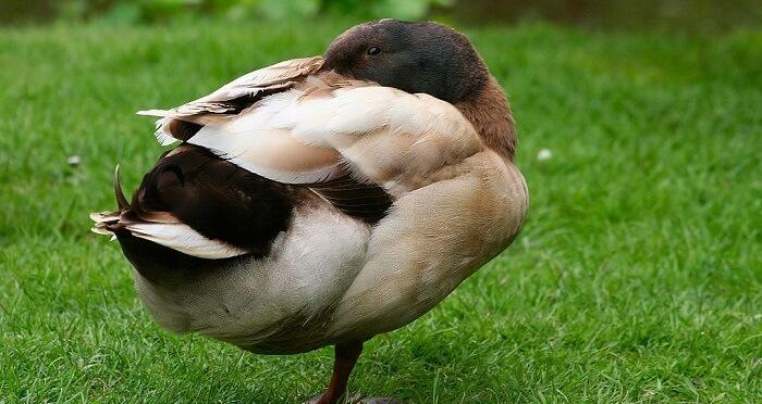 Campell Adası Ördeği