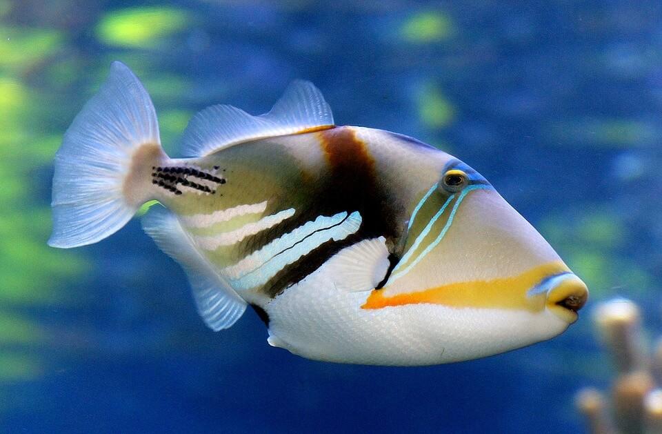 tetik balığı