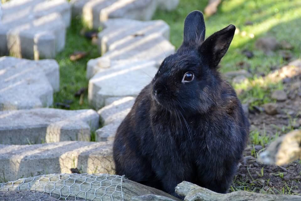 siyah tavşan