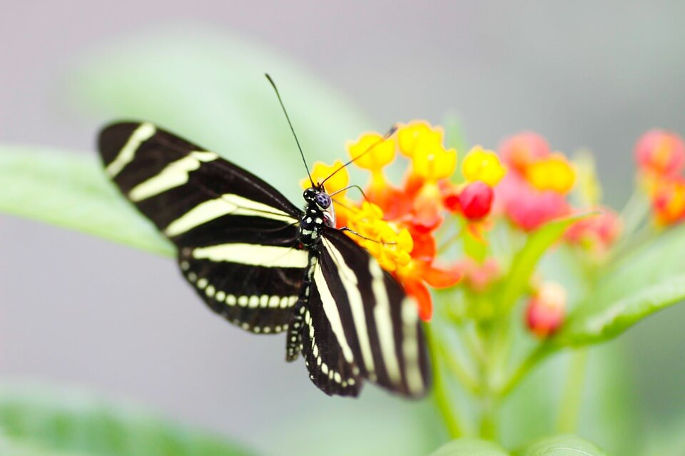 Zebra Kelebeği