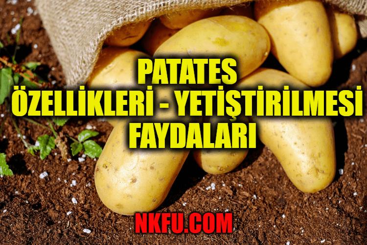 Patates Nedir? Patates Özellikleri - Yetiştirilmesi - Faydaları