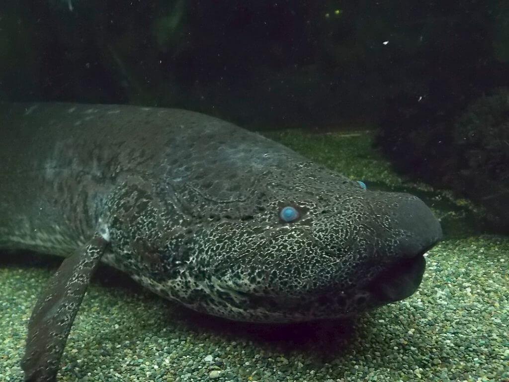 akciğerli balık