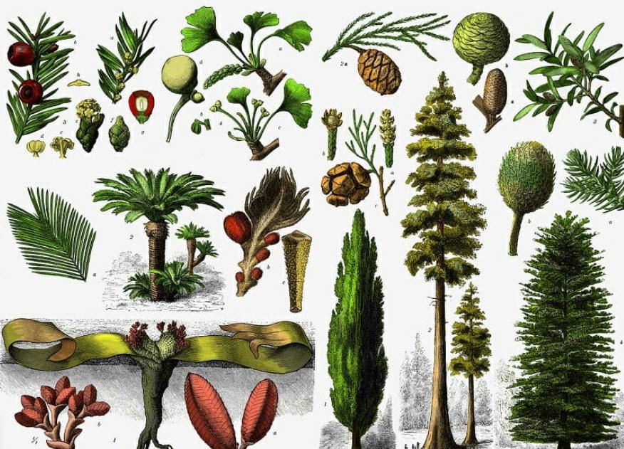 Açık Tohumlu Bitkiler