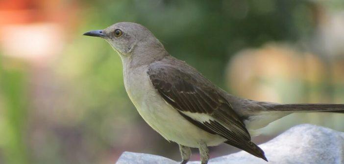 Alaycıkuş
