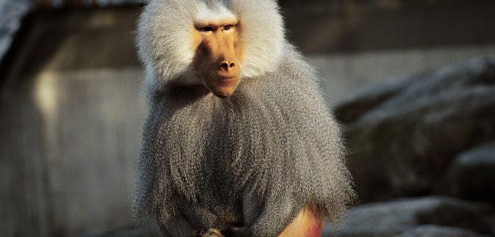Babun maymunu