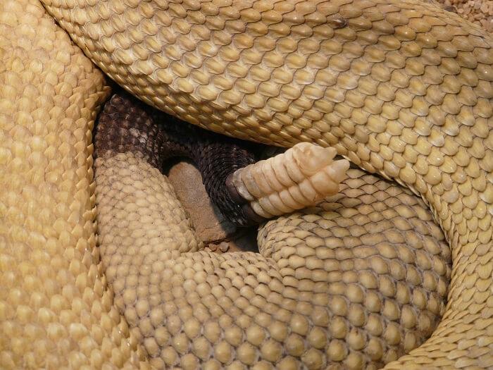 çıngıraklı yılan