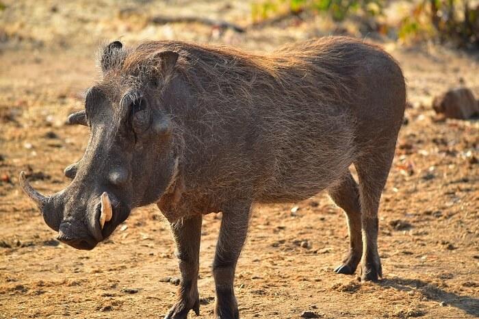 düğmeli domuz