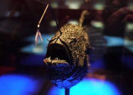 Paracanthopterygii Takımı Özellikleri, Kapsadığı Balıklar Hakkında Bilgi