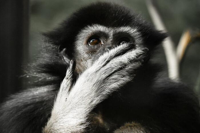jibon maymunu