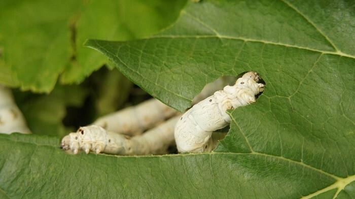 ipekböceği