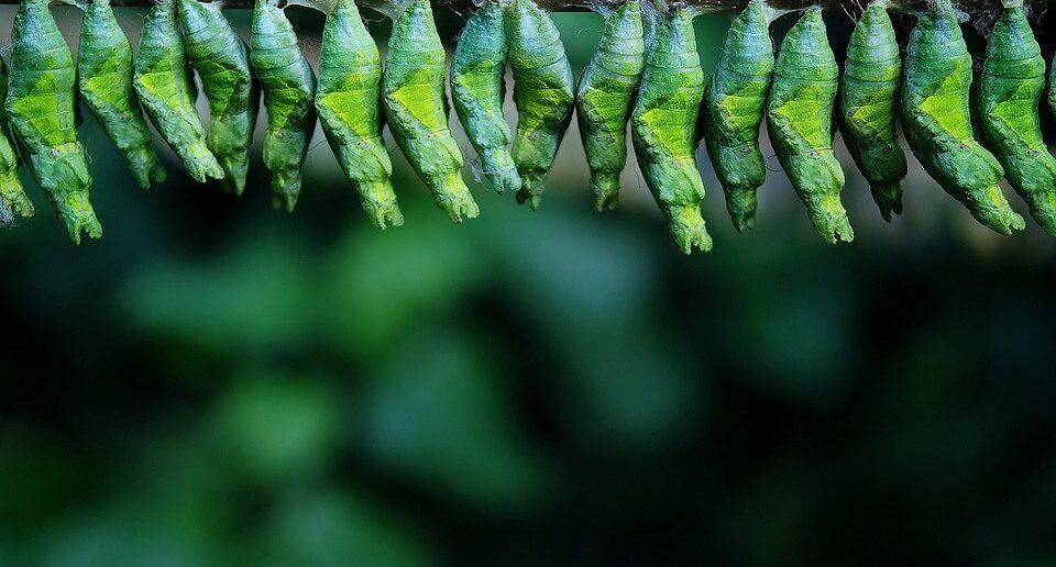 kelebek larva