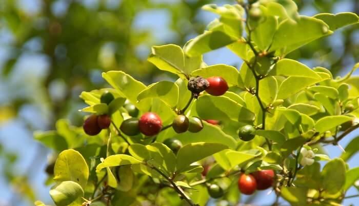 limeberry