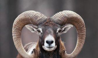 Muflon Koyunu