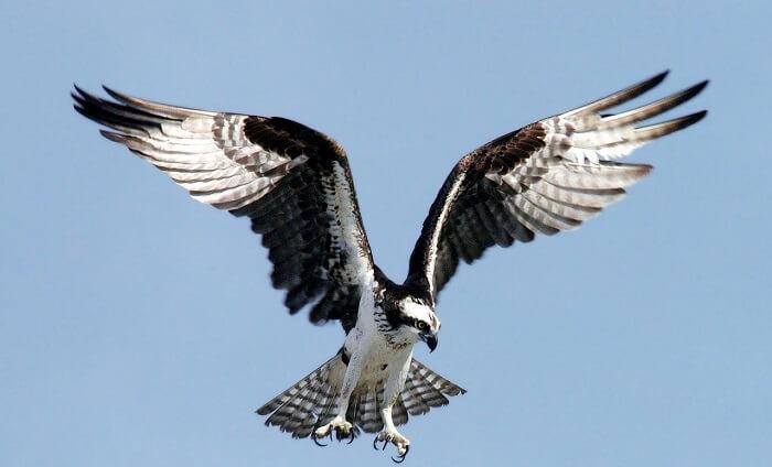 osprey balık kartalı