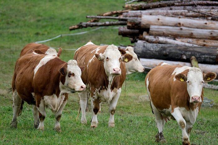 sığır