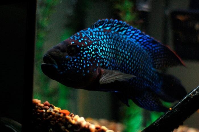 Jack Dempsey balığı