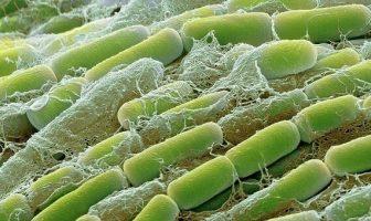 Çürükçül Bakteri