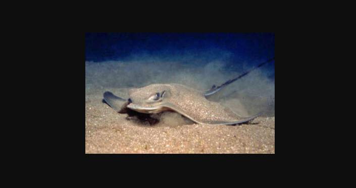 fulya balığı