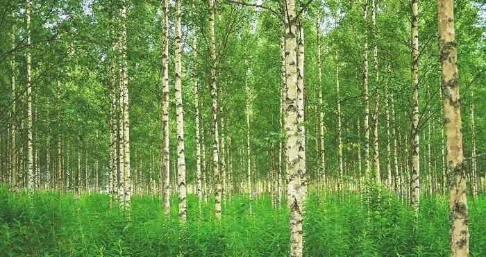 huş ağacı
