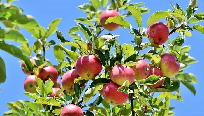 kırmızı elma ağacı