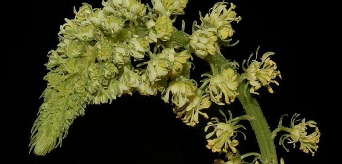 muhabbet çiçeği