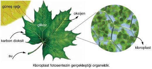 ototrof