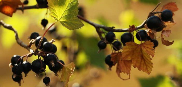siyah frenk üzümü
