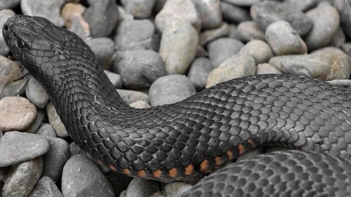 siyah yılan