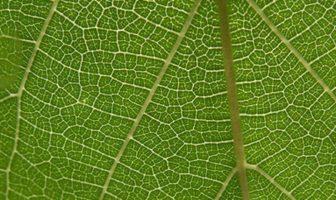 yaprak hücresi