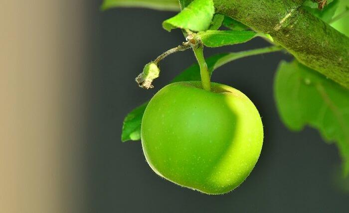 yeşil elma ağacı